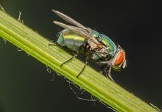 A fly staying on green pepper stem. I found a fly who is stay on the green pepper stem and she is not moving. So I had chance to take a picture stock photos
