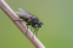 Fly on a stick Royalty Free Stock Photo