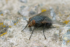 Fly on a stone Royalty Free Stock Image