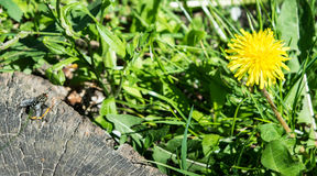 Fly on a stump looking at yellow dandelion in Royalty Free Stock Images