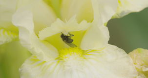 A fly sucking on the flower 4K FS700 Odyssey 7Q Stock Photo