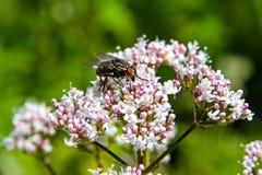 Fly sucking nectar. Closeup of a fly sucking nectar Stock Photos