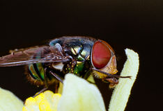 Fly sucking pollen Stock Photo