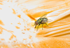 Fly sucking sweet Royalty Free Stock Photography