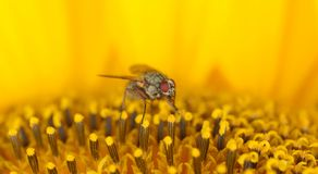 Fly on a sunflower. In summer time Stock Images