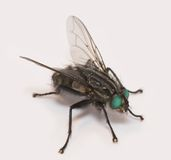 Fly  (super macro) Royalty Free Stock Photos