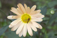 Fly Syrphidae at the autumn chrysanthemum. Stock Image