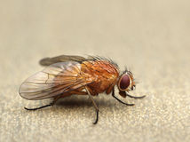 Fly on a table closeup macro Stock Photography