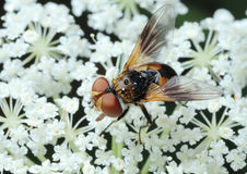 Fly Tachina on a flower Royalty Free Stock Image