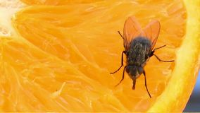 Fly tastes fresh orange Stock Images