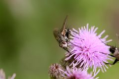 Fly on thistle flower Stock Photography