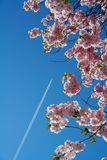 Fly to the land of sakura. Jet plane over a flowering sakura tree. Good for travel advertisement Royalty Free Stock Photography