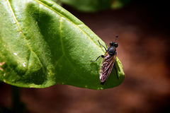 Fly on tobacco leaf. Close up of black fly on green tobacco leaf Stock Photography