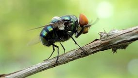Fly turn around of body. Fly turn around of body on branch tropical rain forest stock footage
