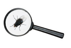 Fly under real magnifying glass isolated over white Stock Image