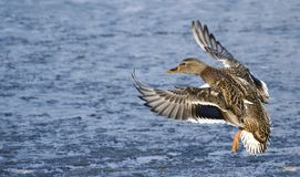 Fly up duck. And blue water stock photography