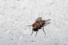 Fly on wall Royalty Free Stock Photo