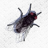 Fly on the wall. Common fly standing on the wall vector draw stock illustration