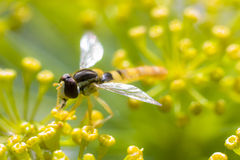 Fly wasp on dill Stock Photo