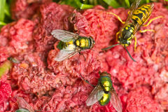 Fly and wasp on red Stock Photography