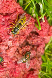 Fly and wasp on red Royalty Free Stock Photo