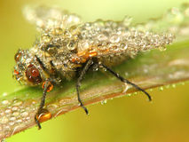 Fly in water drops. A fly who stand on a leaf to rest in many water drops Stock Photo
