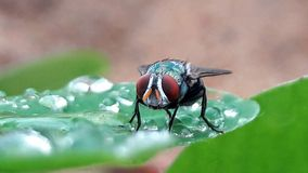A fly on a watery green leaf stock photos