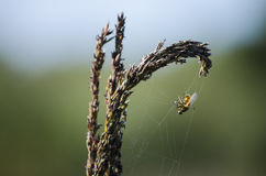 Fly in a web Royalty Free Stock Photography