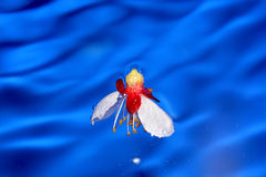 Fly-wet flowers of apricot Royalty Free Stock Image