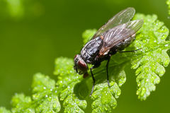 Fly on wet leaf Royalty Free Stock Image