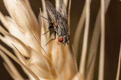 Fly on wheat macro. Fly sitting on wheat macro. Red eyes Royalty Free Stock Photography