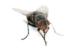 Fly on a white background Stock Photos