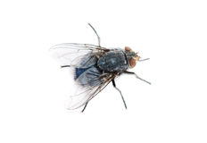 Fly on a white background Royalty Free Stock Image