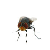 Fly on white background Stock Photography