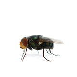Fly on white background Royalty Free Stock Images