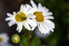 A Fly on a White Daisy. Close up, a fly on a white daisy eating pollen royalty free stock images