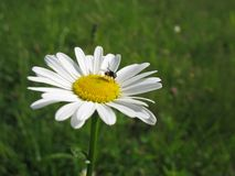 a fly sits on a big white daisy in a field royalty free stock photography