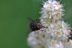 Fly. On white flower Stock Photography