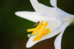 Fly on White Lilium. In the Sunset Royalty Free Stock Photos