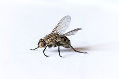 Fly Royalty Free Stock Image
