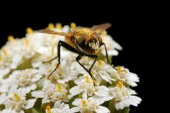 The fly on white small flowers Stock Photos