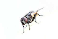 Fly. On the white surface Royalty Free Stock Photography