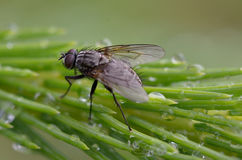 Fly. A fly who dries her wings after a big rain Royalty Free Stock Image