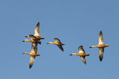 Fly by. Wild ducks flying over natural waterpan in South Africa Stock Image