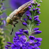 Fly on wild flower. Fly on blue wild flower close-up Royalty Free Stock Photo