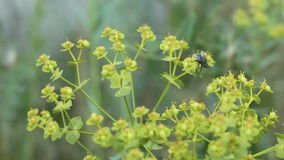 Fly on wild flowers stock footage
