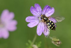 Fly on wild geranium flower Stock Photo