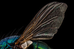 Fly Wings Royalty Free Stock Photography