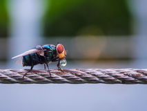 Fly on a wireline holding a droplet of water. Fly on a wireline holding a crystal clear droplet of water Stock Photography