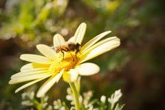 Fly on yellow daisy. Small fly eats pollen on yellow daisy flower, closeup Royalty Free Stock Photo
